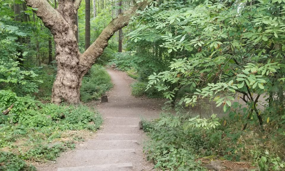 color photo of woodland path leading down steps and past trunk of old sycamore tree.