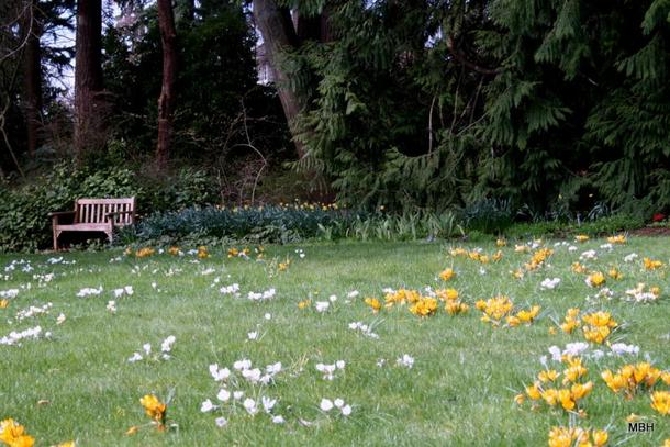 color photo, taken at ground level, showing white- and yellow-flowering crocus in garden lawn, with a bench and wooded slope in the background.