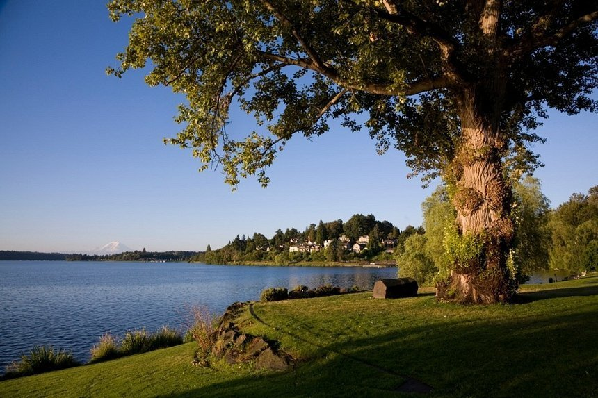 Color photo of old cottonwood tree in mown lawn by the shore of Lake Washington on a sunny day.