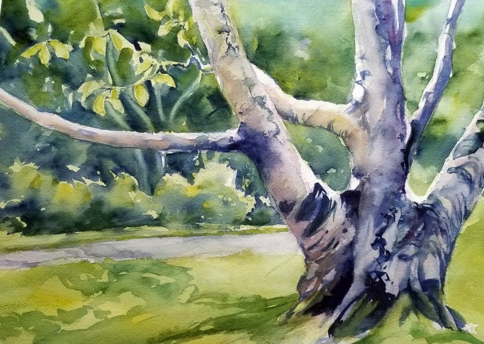 watercolor of multi-trunked, textured birch tree with lawn, path and vegetation in background.